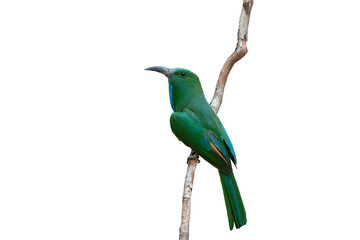 Blue-bearded Bee-eater isolated on white background,Green bird and slender mouth