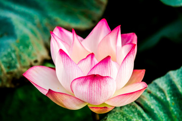 Garden Poster Lotus flower Pink lotus flower in pond, Chiangmai province Thailand
