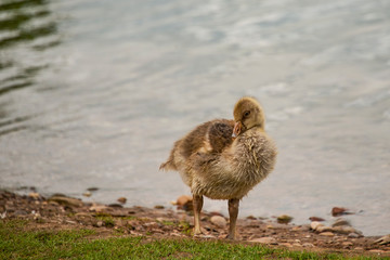 Greylag goose, geese with goslings at The Christopher Cadbury Wetland Reserve at Upton Warren, wildlife trust Worcestershire