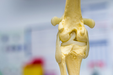 dog knee joint mold back view, meniscus and cruciate ligament
