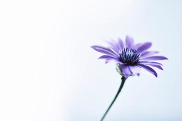 Blue single flower on white background