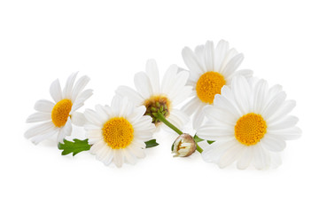 White Daisies (Marguerite) isolated, including clipping path without shade. Wall mural