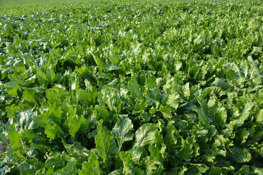 Field of sugar beet, grown commercially for sugar production, North Yorkshire, England