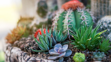 Photo sur Aluminium Cactus Various types of cactus in botanical garden.Cactus in a garden close up.Various types of cactus.Cactus for home decoration.Haworthia limifolia.