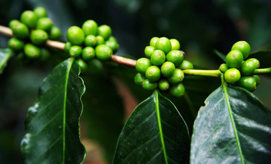 Coffee Plant. Coffee beans growing on a branch of coffee tree. Branch of a coffee tree with ripe fruits close up