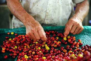Colombian worker selecting the coffee beans