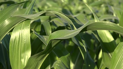 Wall Mural - Green corn maize crop leaves in sunset, close up