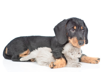 Dachshund puppy embracing gray kitten. isolated on white background