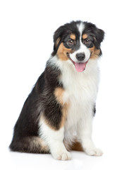 Happy young Australian Shepherd dog with tongue out sitting. Isolated on white background