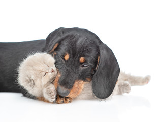 Playful dachshund puppy hugging tiny gray kitten. Isolated on white background