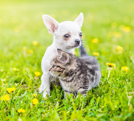 Chihuahua puppy and a kitten standing together on a dandelion field