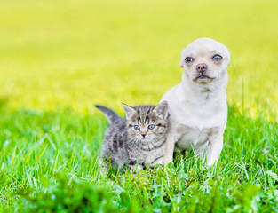 Portrait of a chihuahua puppy and a kitten on green grass. Empty space for text