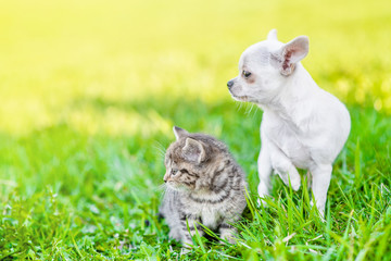 Chihuahua puppy and a kitten on green summer grass looking away together. Empty space for text