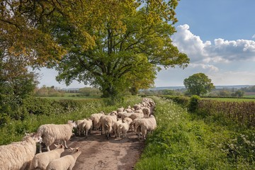 Cotswold lane with sheep near Chipping Campden, Gloucestershire, England