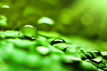 Wall Mural - Large beautiful drops of transparent rain water on a green leaf. Macro. Natural background. Selective focus.