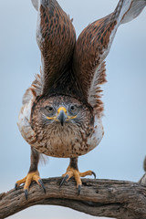 Ferruginous Hawk Unfurling Wings In Southern Arizona