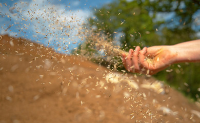 Fototapeta CLOSE UP: Small seeds come flying out of farmer's hand sowing grass on sunny day