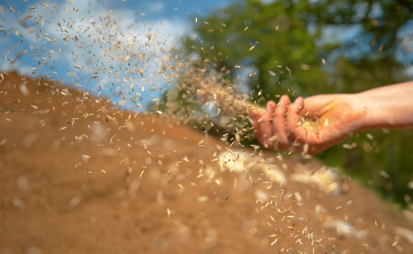 CLOSE UP: Small seeds come flying out of farmer's hand sowing grass on sunny day
