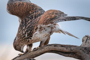 Ferruginous Hawk On Perch Eating Prey In Southern Arizona