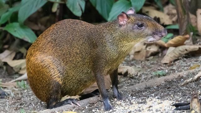 Central American agouti Dasyprocta punctata, adult foraging for food, Costa Rica, Jaunuary 2019