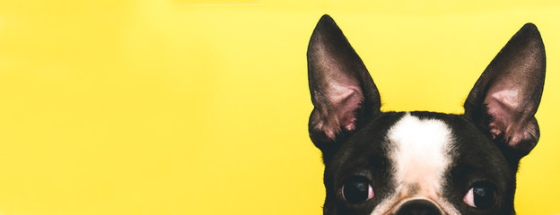 Fotobehang Hond The top of the dog's head with large black ears Boston Terrier breed on a yellow background. Creative. Banner