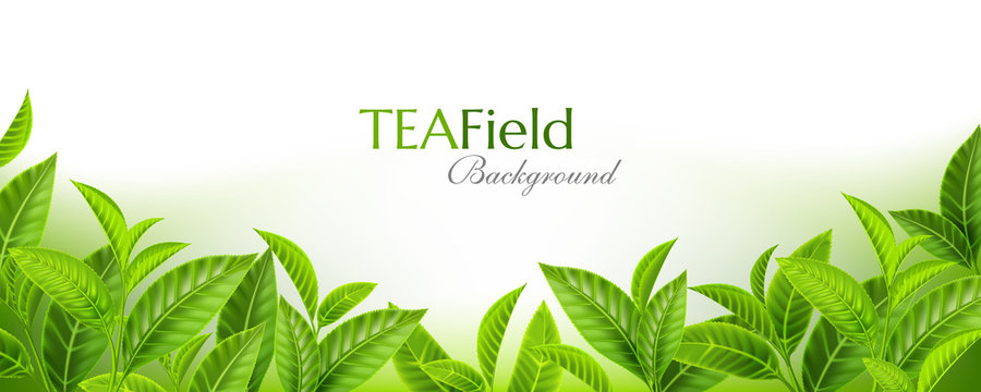Green tea leaves background. Horizontal panoramic banner with fresh  tea branches on the soft backdrop. Vector illustration with realistic design elements.