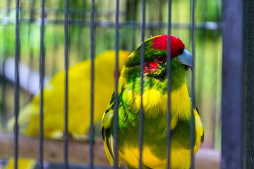 Red-crowned parakeet or red-fronted parakeet, kakariki parrot from New Zealand in cage Fotomurales