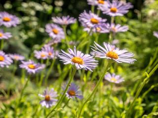 Aster alpinus flowers