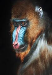 Photo sur Aluminium Singe Portrait of a mandrill