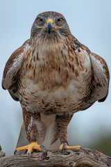 Ferruginous Hawk Sitting On Perch In Southern Arizona