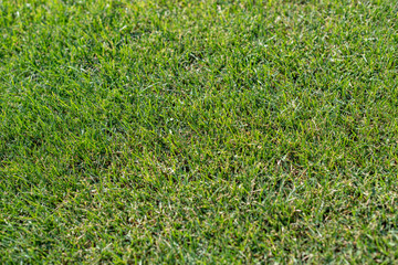 Green grass lawn or football field close up.