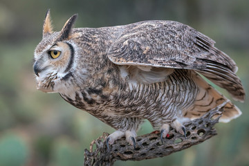 Great Horned Owl With Eyes On Prey In Southern Arizona
