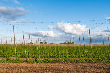 Hops growing on trellises in a field for use in the brewing industry in Oregon's Willamette Valley