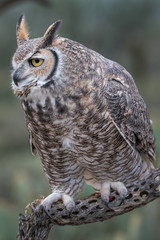 Great Horned Owl Sitting On Perch In Southern Arizona