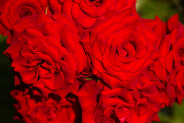 Beautiful red roses picture for text