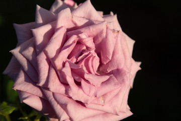 Beautiful pink rose picture for text