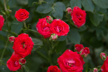 Beautiful red roses texture photo