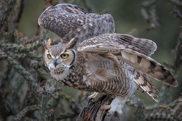 Great Horned Owl Launching From Perch In Southern Arizona