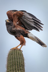 Harris's Hawk With Wings Unfurling Wings Atop Saguaro Cactus In Southern Arizona
