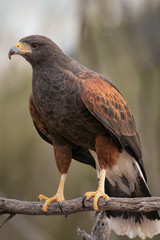 Harris's Hawk Sitting On Branch In Southern Arizona