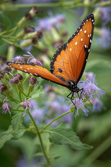 Queen Butterfly On Bush With Purple Blooms