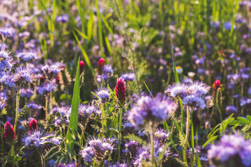Colorful flowering meadow with purple blooming phacelia and dark red flowering clover. Meadow flowers photographed landscape format suitable as wall decoration in wellness areas, spa and hotel area