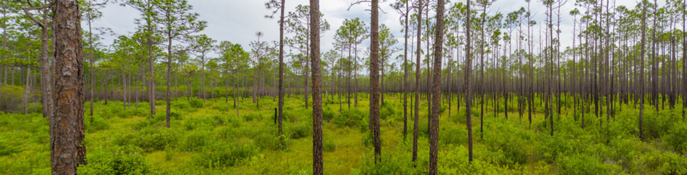 Nature panorama Apalachicola National Forest Florida USA