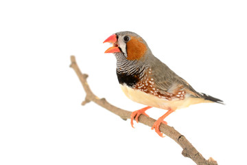 Zebra Finch bird