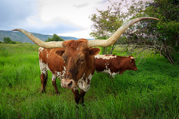 Wall Mural - Two Texas Longhorn steers in a rural green field, Utah, USA.