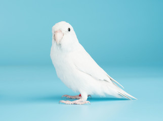 Bird parrot parakeet forpus american white color isolated on blue background 8 month old