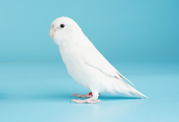 Bird parrot parakeet forpus american white color isolated on blue background 8 month old Fotomurales