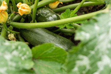 Green vegetable marrow growing on bush. Zucchini plant.  Zucchini flower.