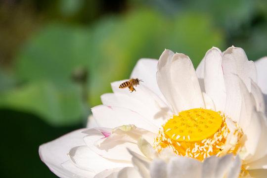 ミツバチと蓮の花