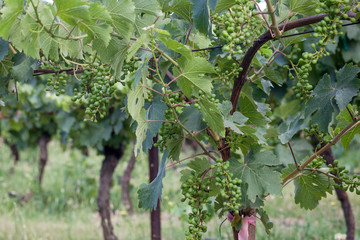 Fototapete - Many bunches of developing wine grapes grow in the sun, supported on a trellis and the gnarled trunks of the plant.